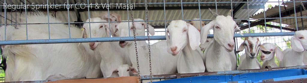 Regular Sprinklers for Goat Farm CO-4 and Velli Masal